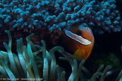 BD-161026-Pura-2992-Amphiprion-clarkii-(Bennett.-1830)-[Yellowtail-clownfish].jpg